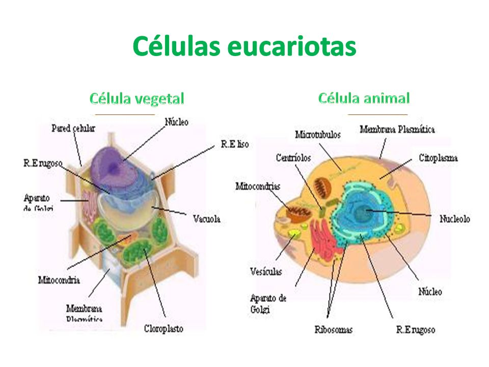 Células eucariotas Célula vegetal Célula animal