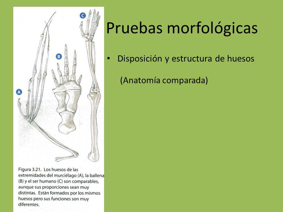 Pruebas morfológicas Disposición y estructura de huesos