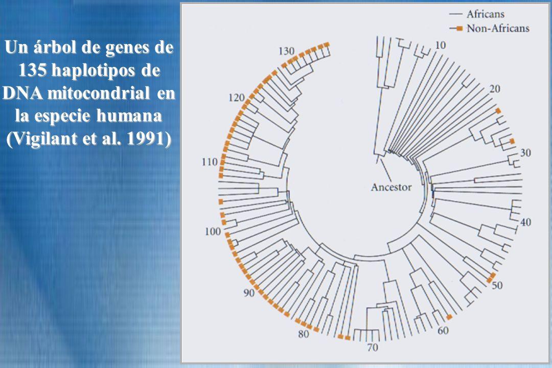 Un árbol de genes de 135 haplotipos de DNA mitocondrial en la especie humana