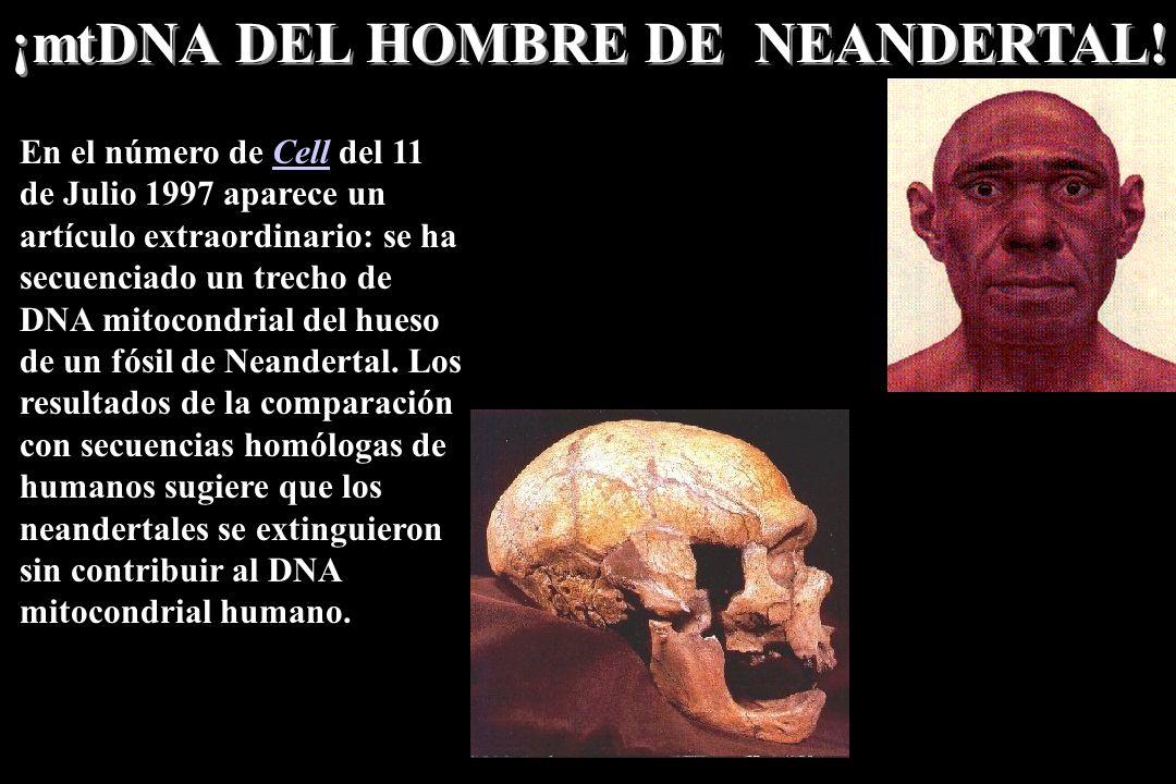 ¡mtDNA DEL HOMBRE DE NEANDERTAL!