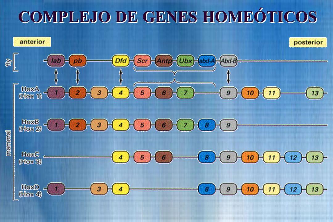 COMPLEJO DE GENES HOMEÓTICOS