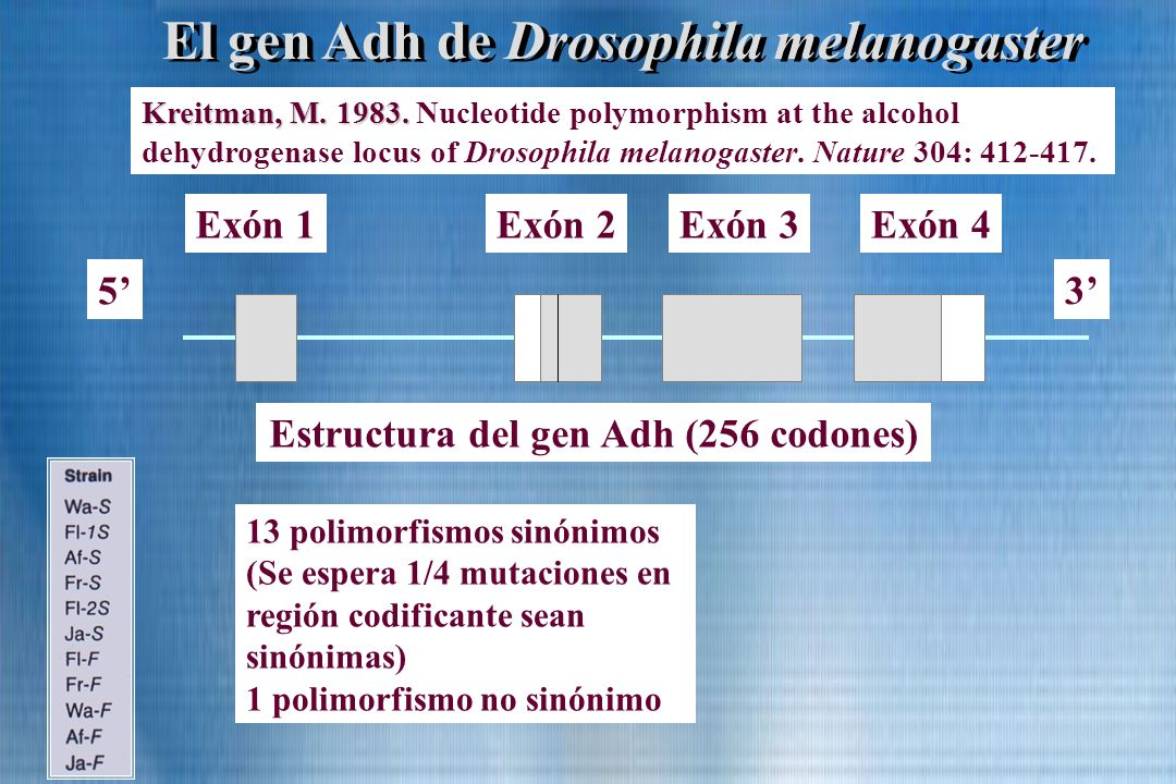 El gen Adh de Drosophila melanogaster