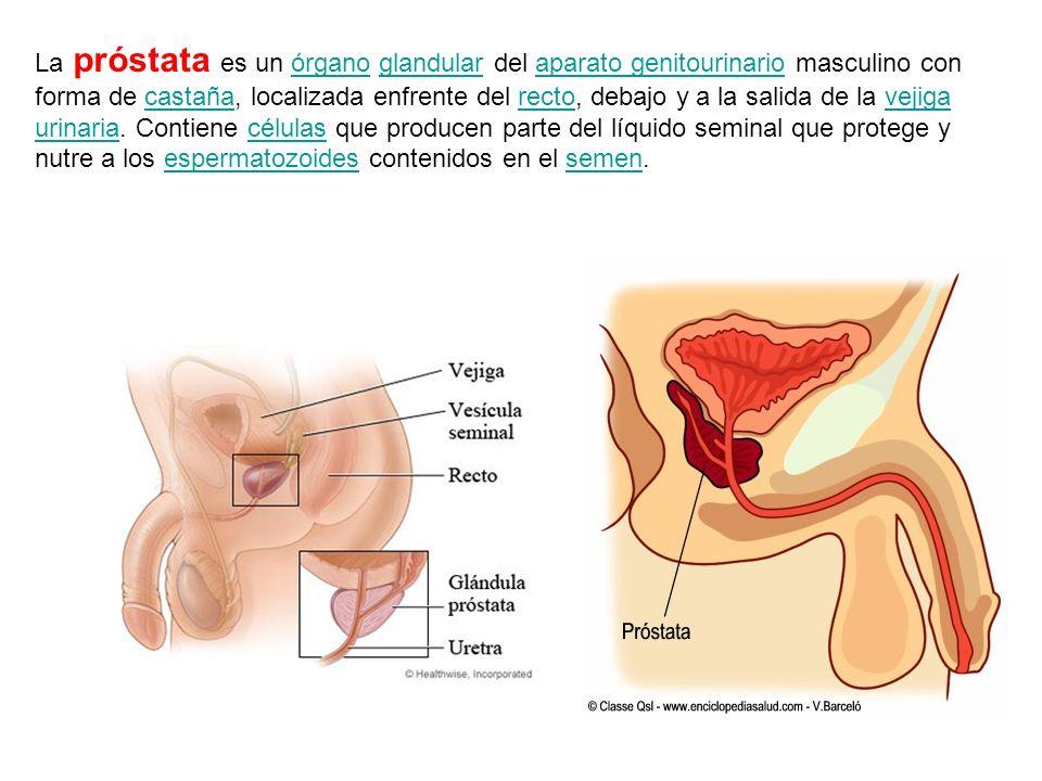 La próstata es un órgano glandular del aparato genitourinario masculino con forma de castaña, localizada enfrente del recto, debajo y a la salida de la vejiga urinaria.