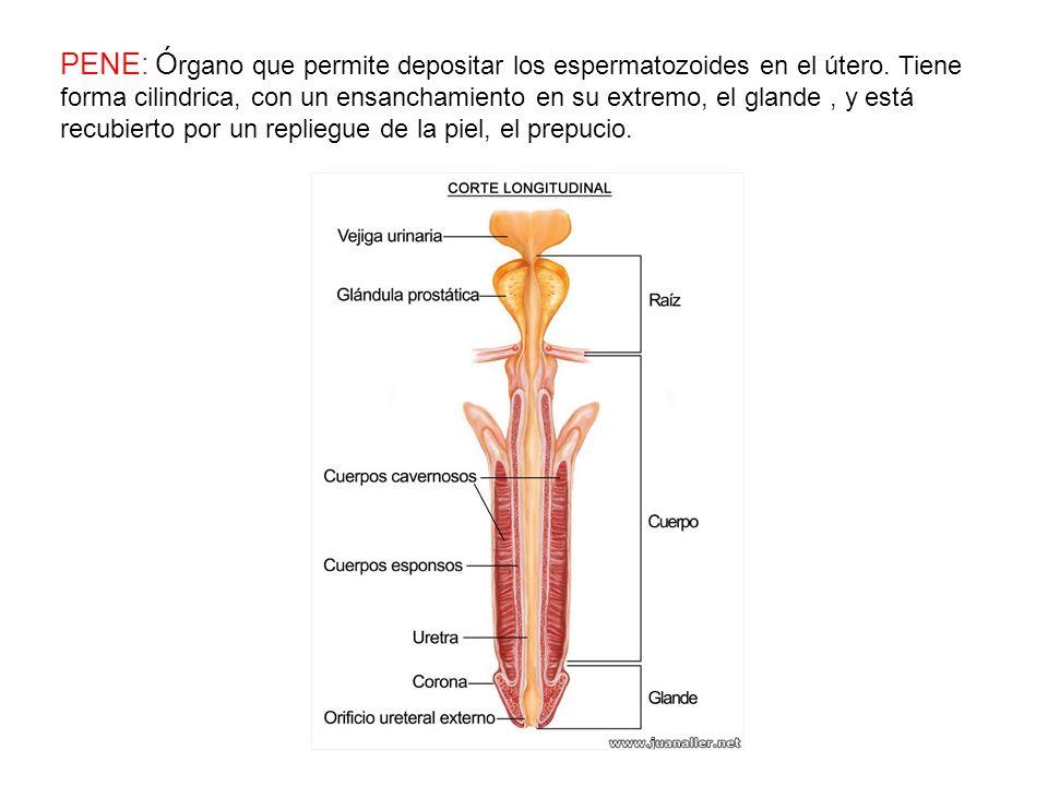 PENE: Órgano que permite depositar los espermatozoides en el útero