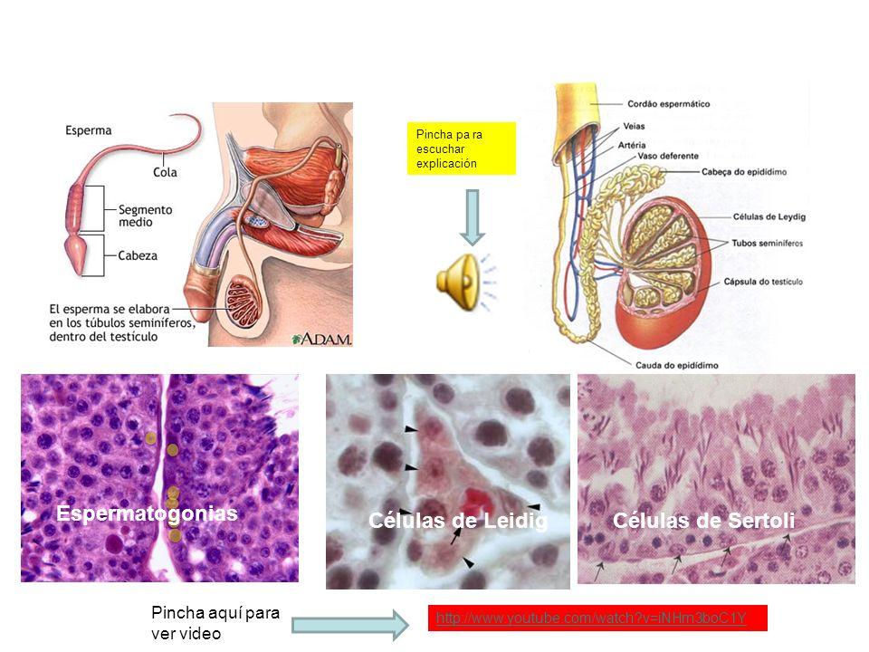 Espermatogonias Células de Leidig Células de Sertoli