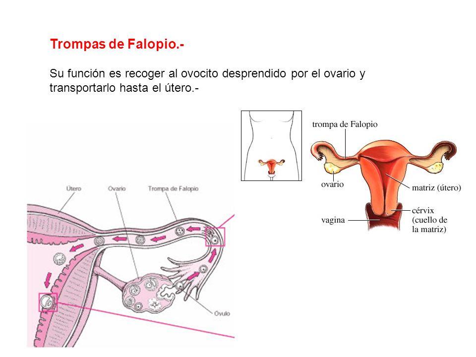 Trompas de Falopio.- Su función es recoger al ovocito desprendido por el ovario y transportarlo hasta el útero.-