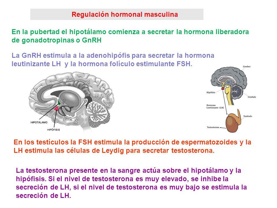 Regulación hormonal masculina