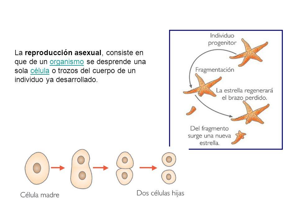 La reproducción asexual, consiste en que de un organismo se desprende una sola célula o trozos del cuerpo de un individuo ya desarrollado.