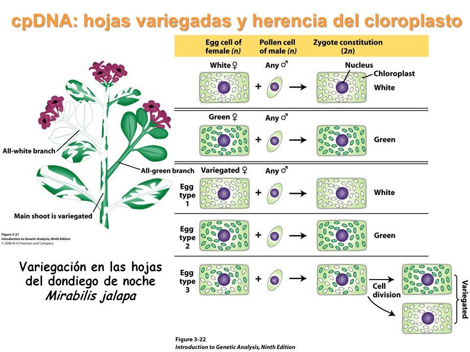 cpDNA: hojas variegadas y herencia del cloroplasto