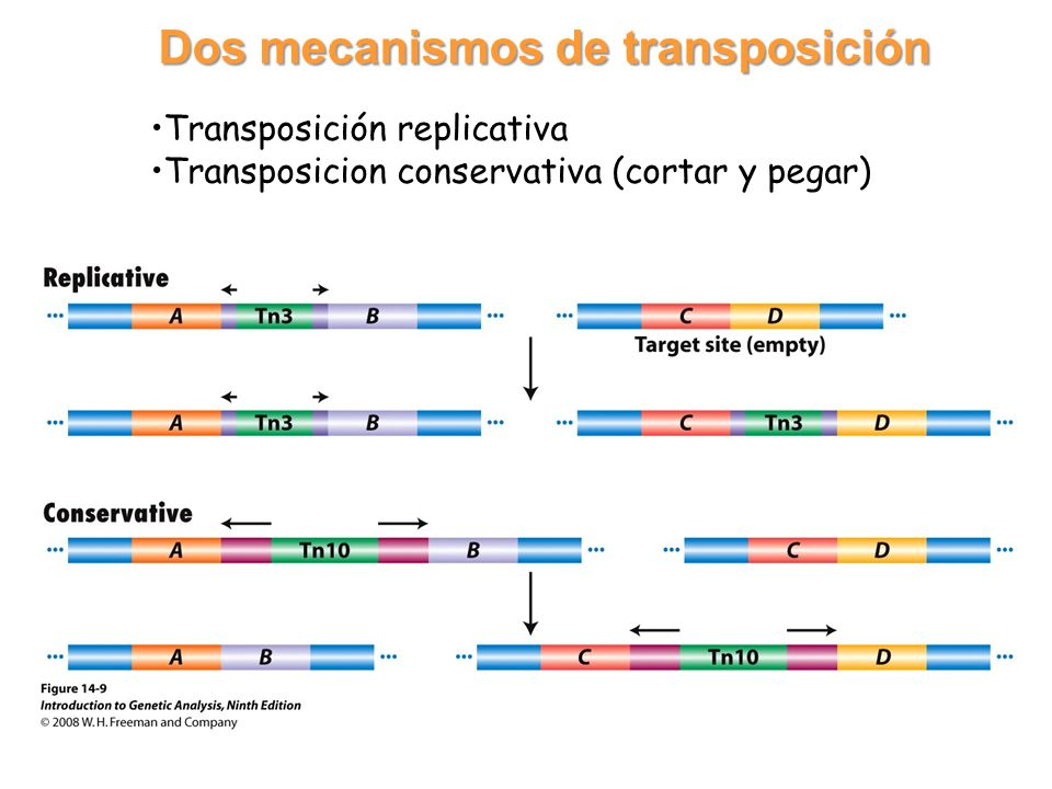 Dos mecanismos de transposición