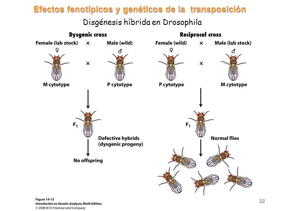 Efectos fenotípicos y genéticos de la transposición