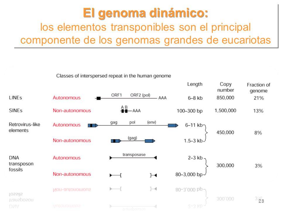 El genoma dinámico: los elementos transponibles son el principal componente de los genomas grandes de eucariotas.
