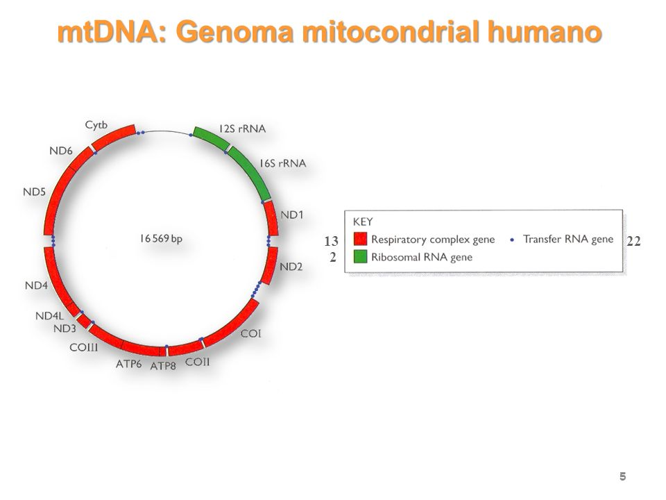 mtDNA: Genoma mitocondrial humano