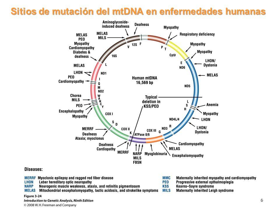 Sitios de mutación del mtDNA en enfermedades humanas