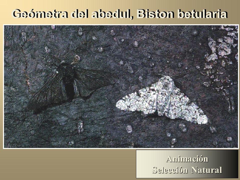 Geómetra del abedul, Biston betularia