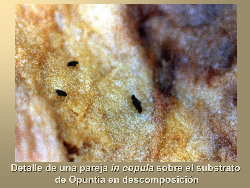 Detalle de una pareja in copula sobre el substrato