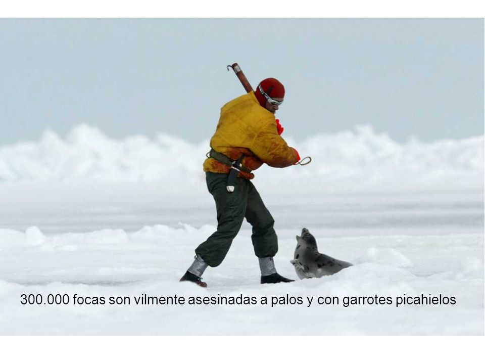 300.000 focas son vilmente asesinadas a palos y con garrotes picahielos