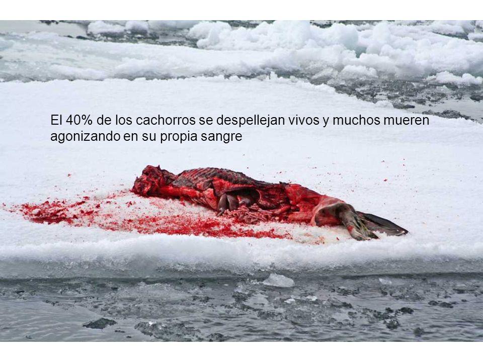 El 40% de los cachorros se despellejan vivos y muchos mueren