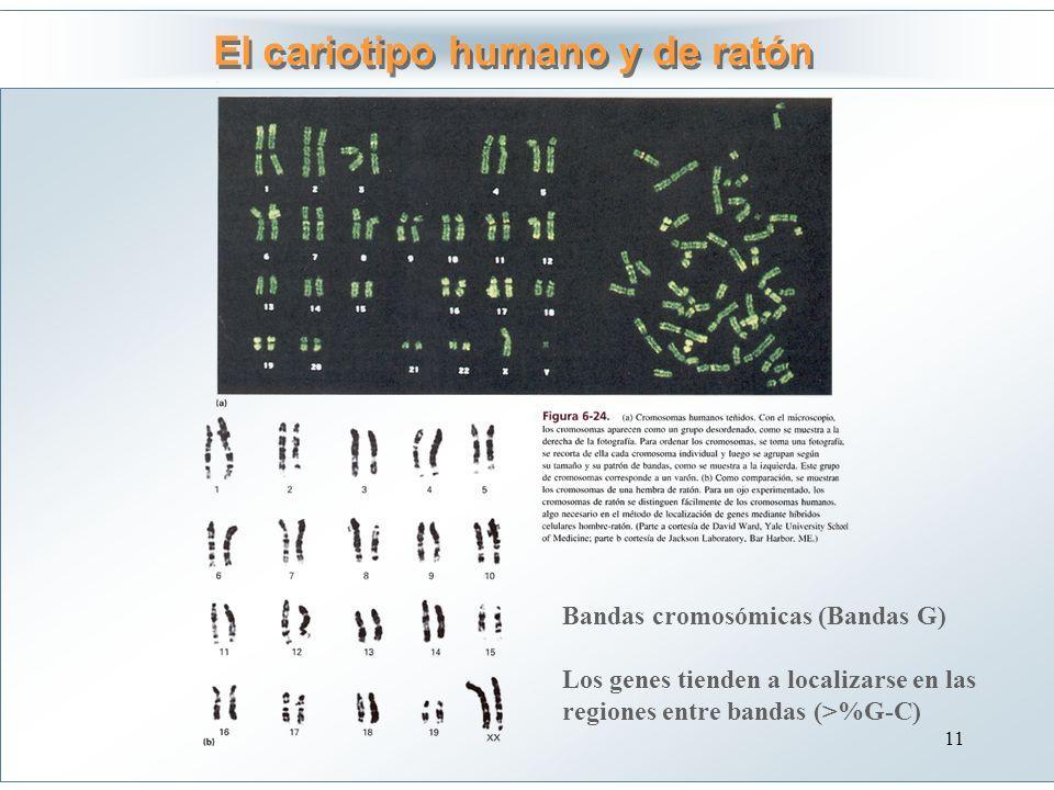 El cariotipo humano y de ratón