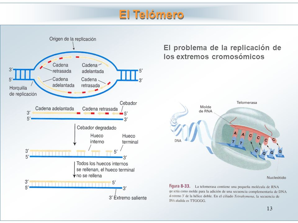 El Telómero El problema de la replicación de los extremos cromosómicos