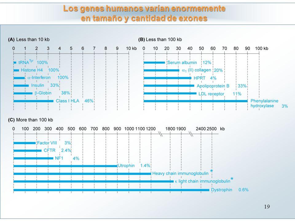 Los genes humanos varían enormemente en tamaño y cantidad de exones
