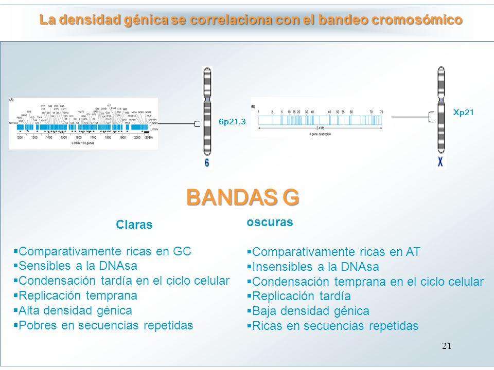 La densidad génica se correlaciona con el bandeo cromosómico