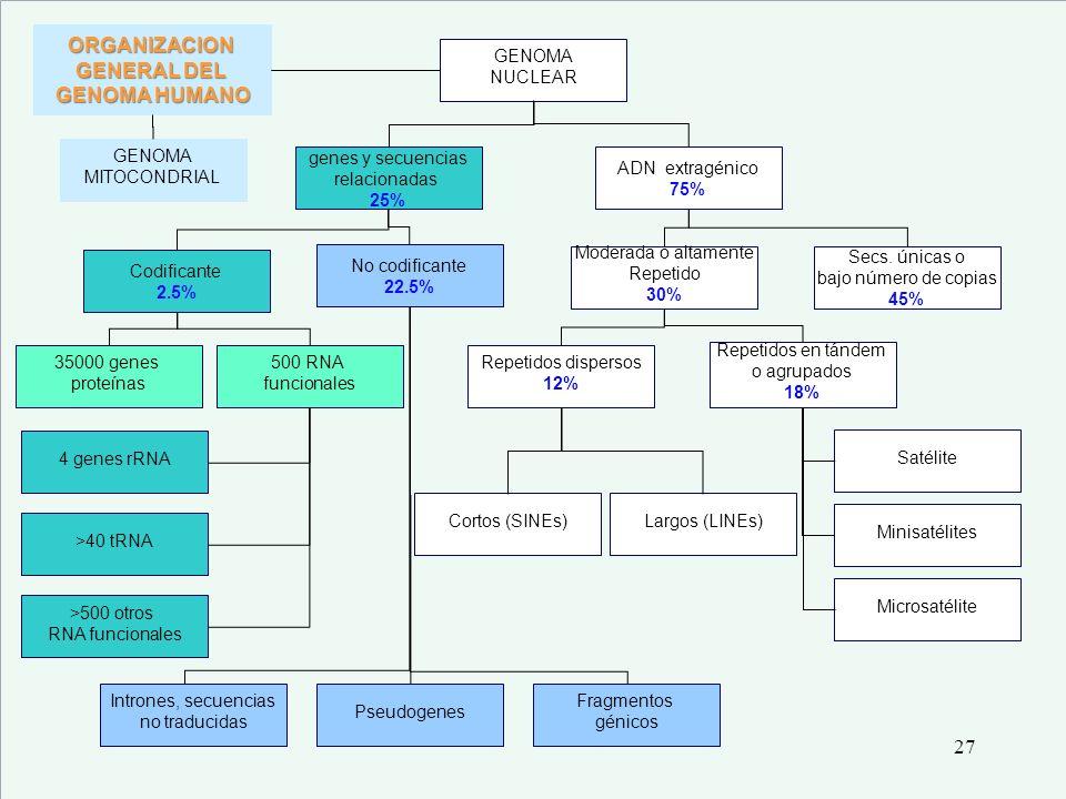 ORGANIZACION GENERAL DEL GENOMA HUMANO