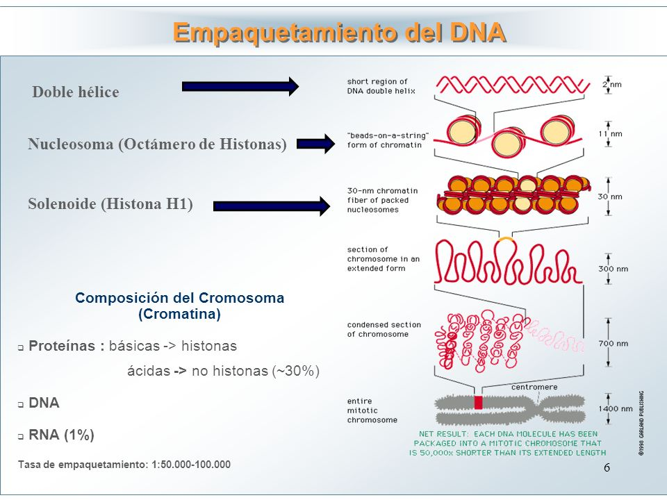 Empaquetamiento del DNA Composición del Cromosoma