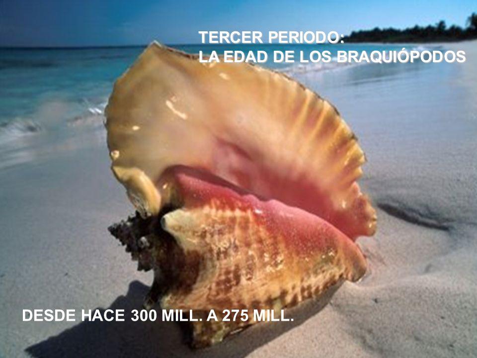 TERCER PERIODO: LA EDAD DE LOS BRAQUIÓPODOS DESDE HACE 300 MILL. A 275 MILL.