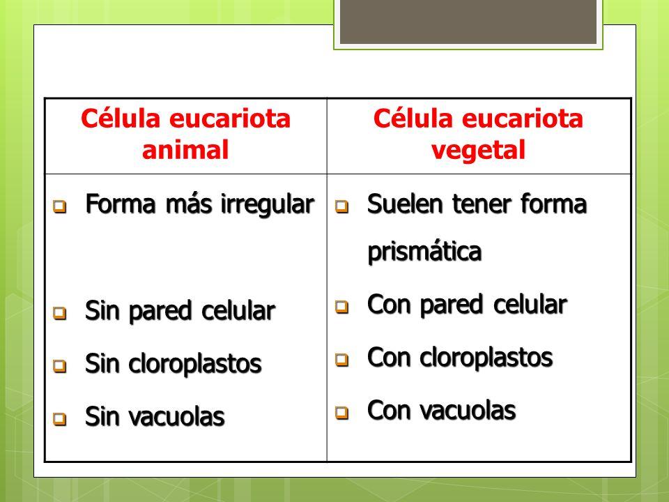 Célula eucariota animal Célula eucariota vegetal