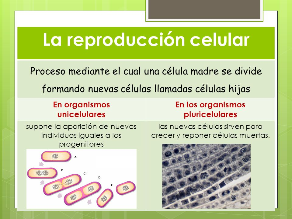 La reproducción celular En los organismos pluricelulares
