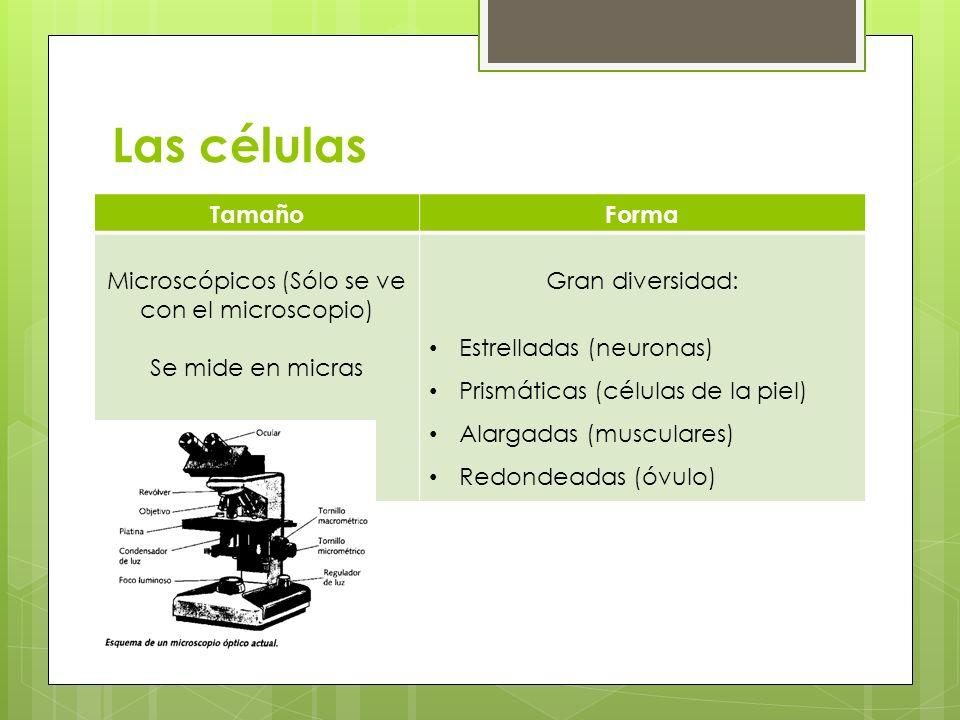 Microscópicos (Sólo se ve con el microscopio)