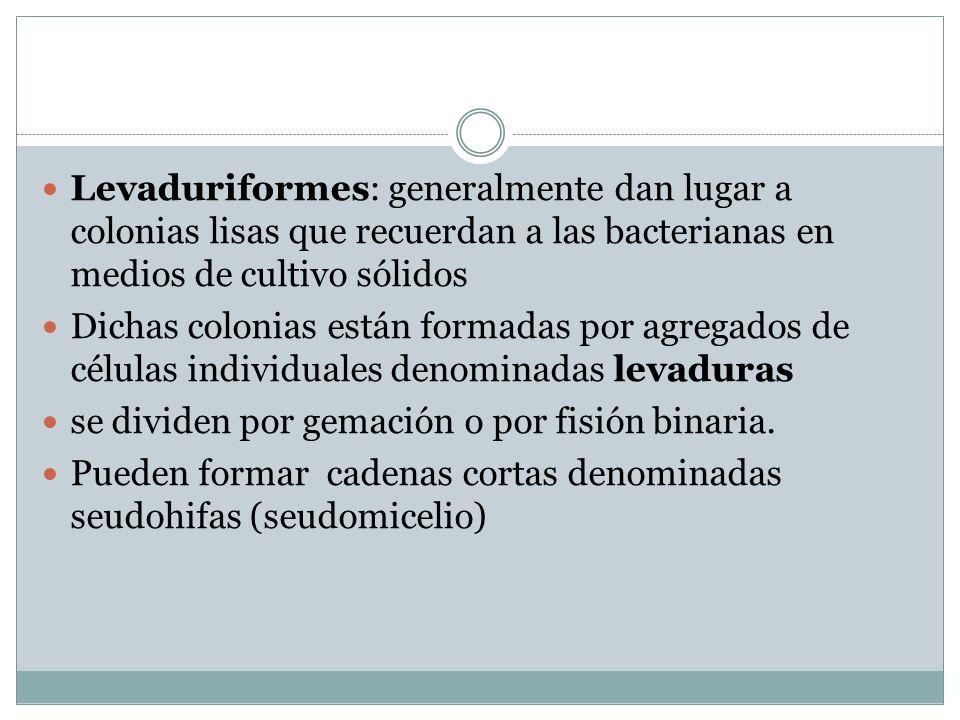 Levaduriformes: generalmente dan lugar a colonias lisas que recuerdan a las bacterianas en medios de cultivo sólidos