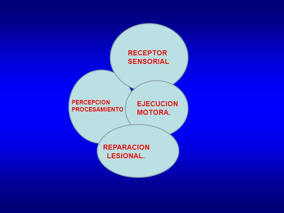 RECEPTOR SENSORIAL. EJECUCION MOTORA. REPARACION LESIONAL. PERCEPCION