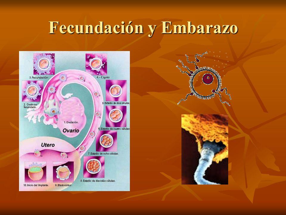Fecundación y Embarazo