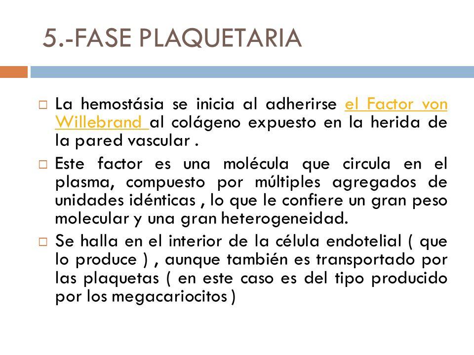 5.-FASE PLAQUETARIA La hemostásia se inicia al adherirse el Factor von Willebrand al colágeno expuesto en la herida de la pared vascular .