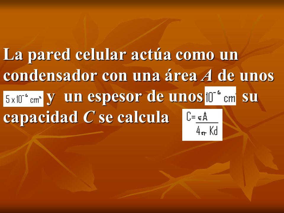 La pared celular actúa como un condensador con una área A de unos y un espesor de unos su capacidad C se calcula