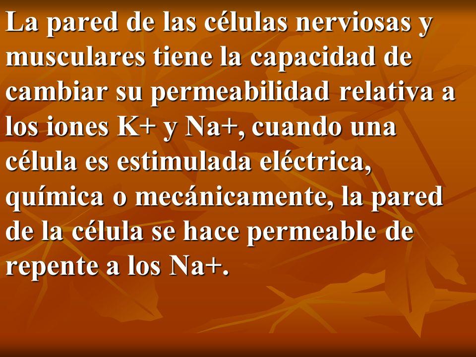 La pared de las células nerviosas y musculares tiene la capacidad de cambiar su permeabilidad relativa a los iones K+ y Na+, cuando una célula es estimulada eléctrica, química o mecánicamente, la pared de la célula se hace permeable de repente a los Na+.