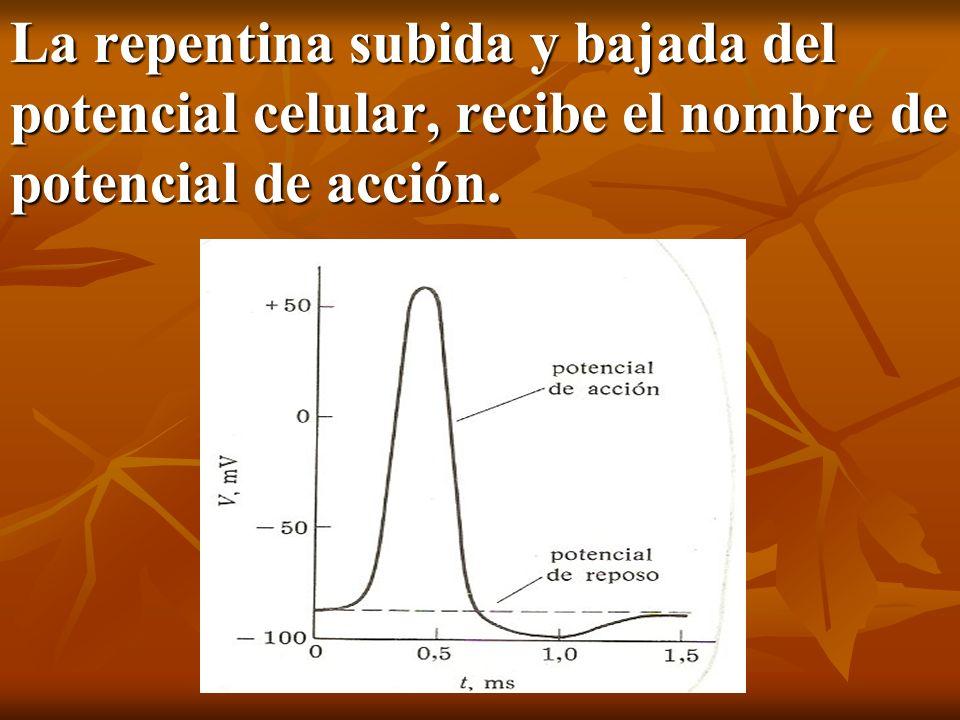 La repentina subida y bajada del potencial celular, recibe el nombre de potencial de acción.