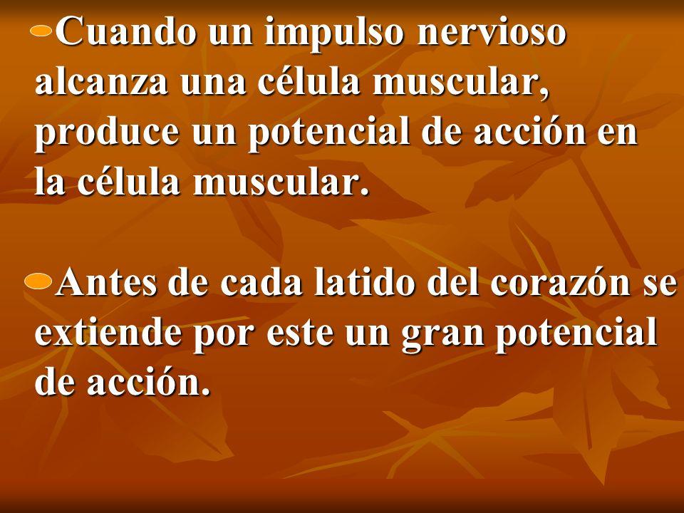 Cuando un impulso nervioso alcanza una célula muscular, produce un potencial de acción en la célula muscular.
