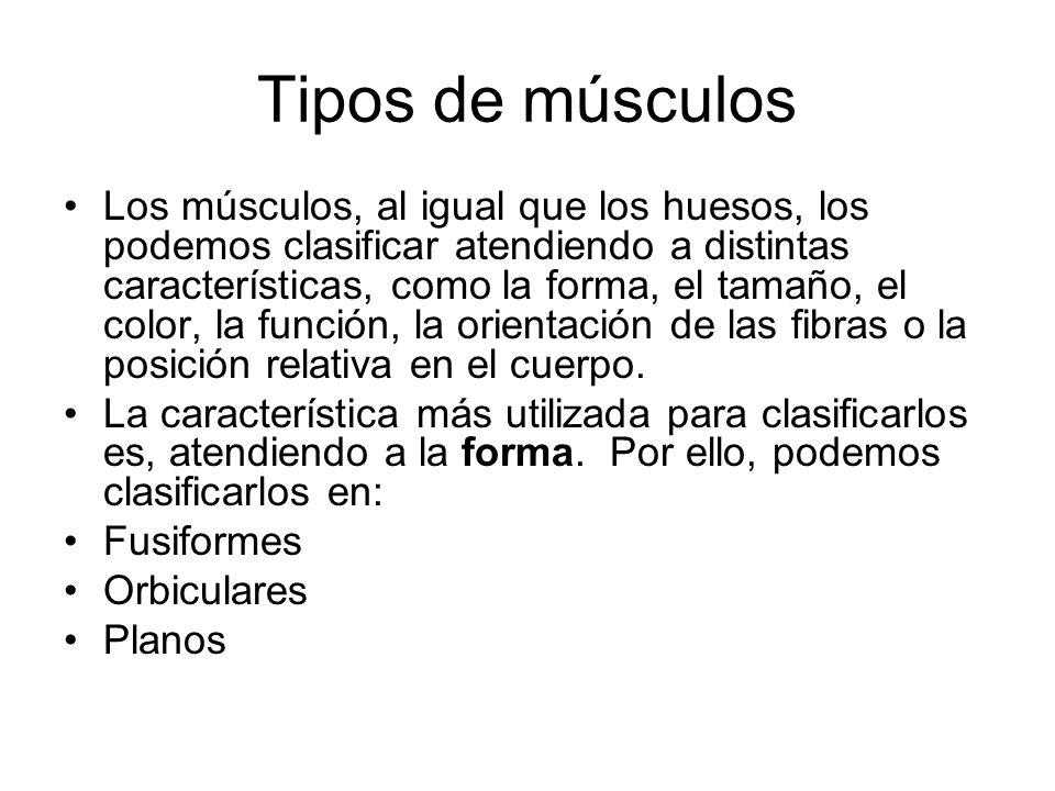 Tipos de músculos