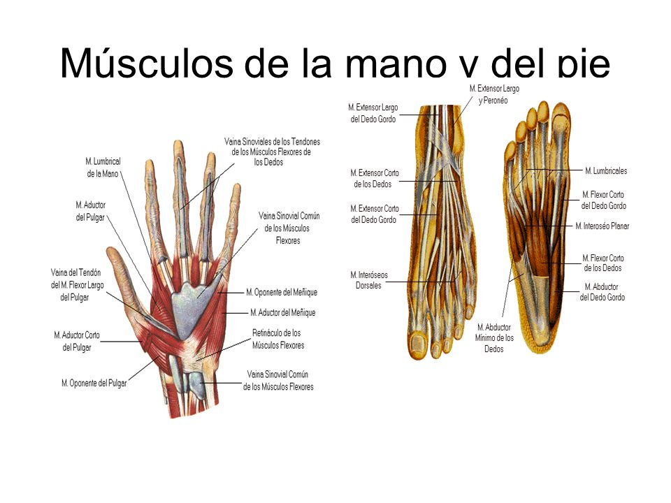 Músculos de la mano y del pie
