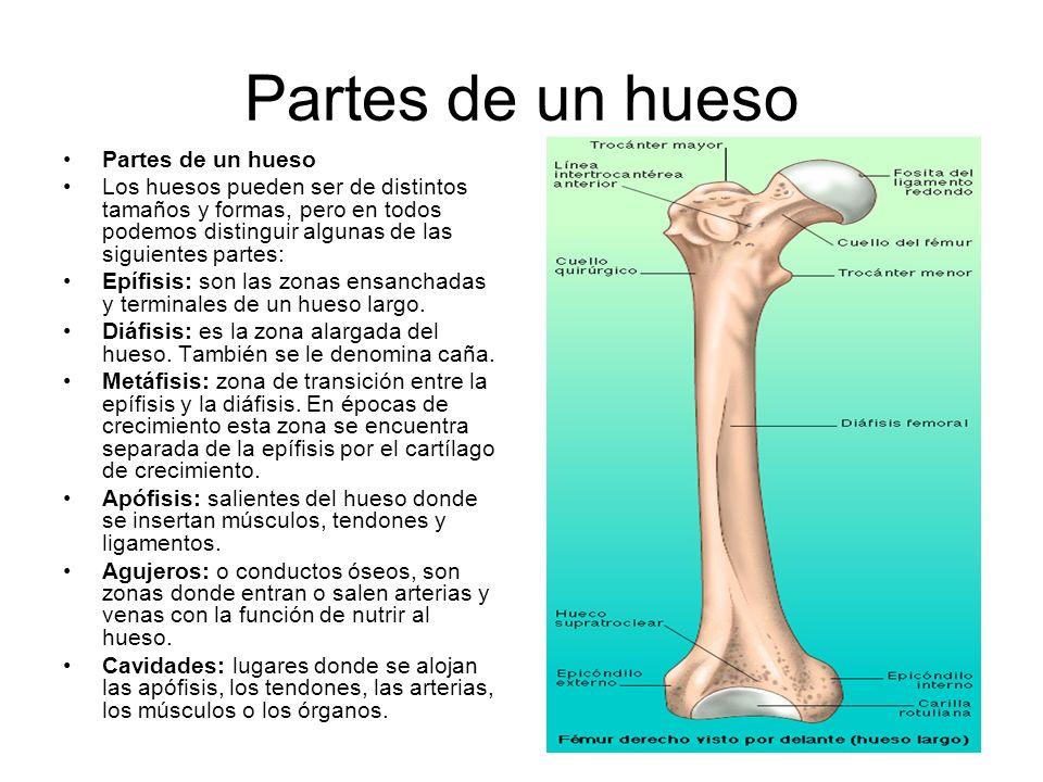 Partes de un hueso Partes de un hueso