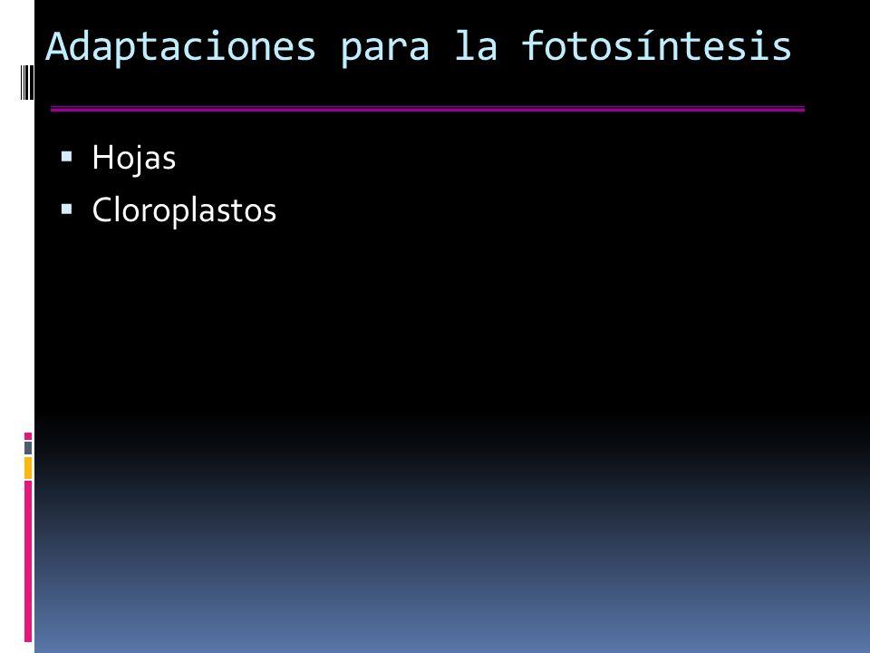 Adaptaciones para la fotosíntesis