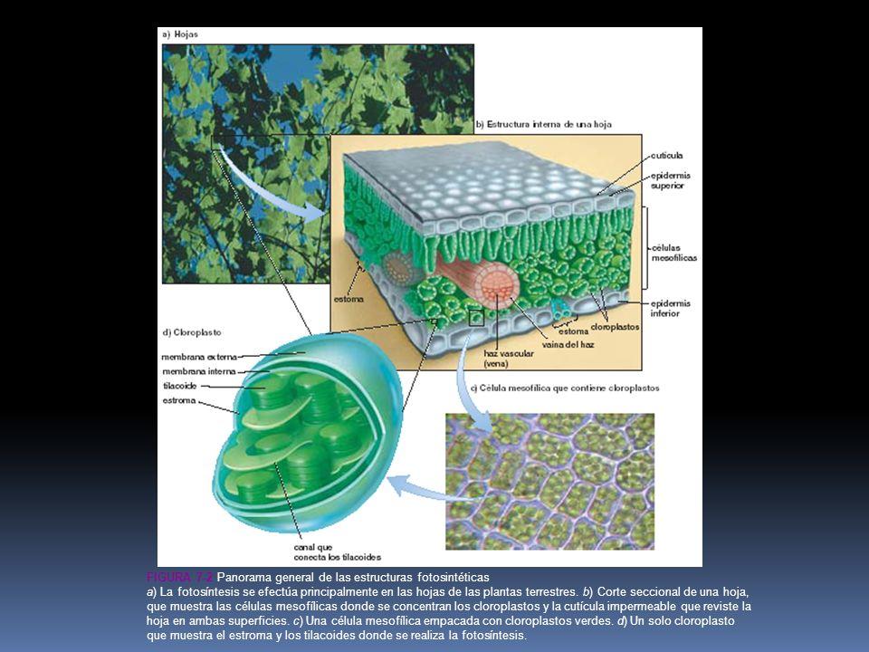 Figura 7-2 Panorama general de las estructuras fotosintéticas