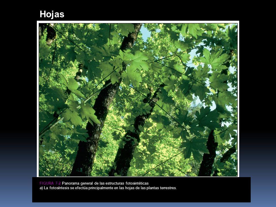 Hojas Figura 7-2a Panorama general de las estructuras fotosintéticas