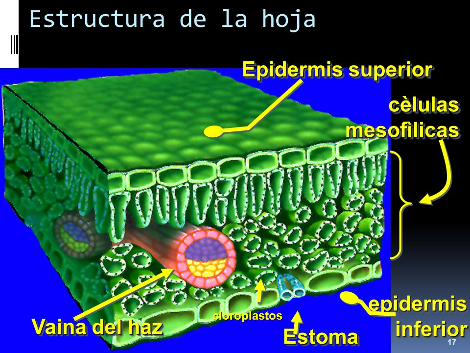 Estructura de la hoja Epidermis superior cèlulas mesofìlicas