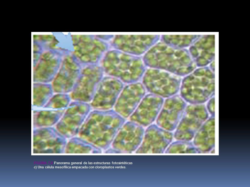 Figura 7-2c Panorama general de las estructuras fotosintéticas