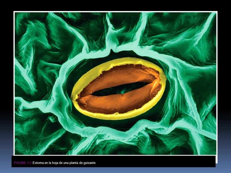Figura 7-3 Estoma en la hoja de una planta de guisante