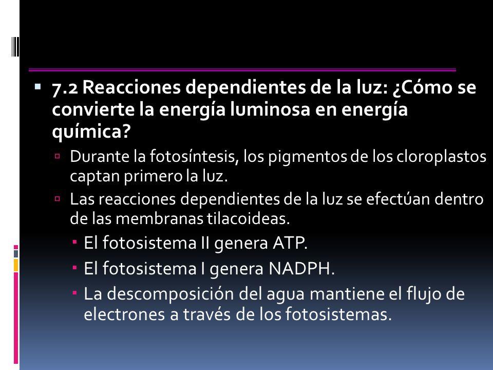 7.2 Reacciones dependientes de la luz: ¿Cómo se convierte la energía luminosa en energía química